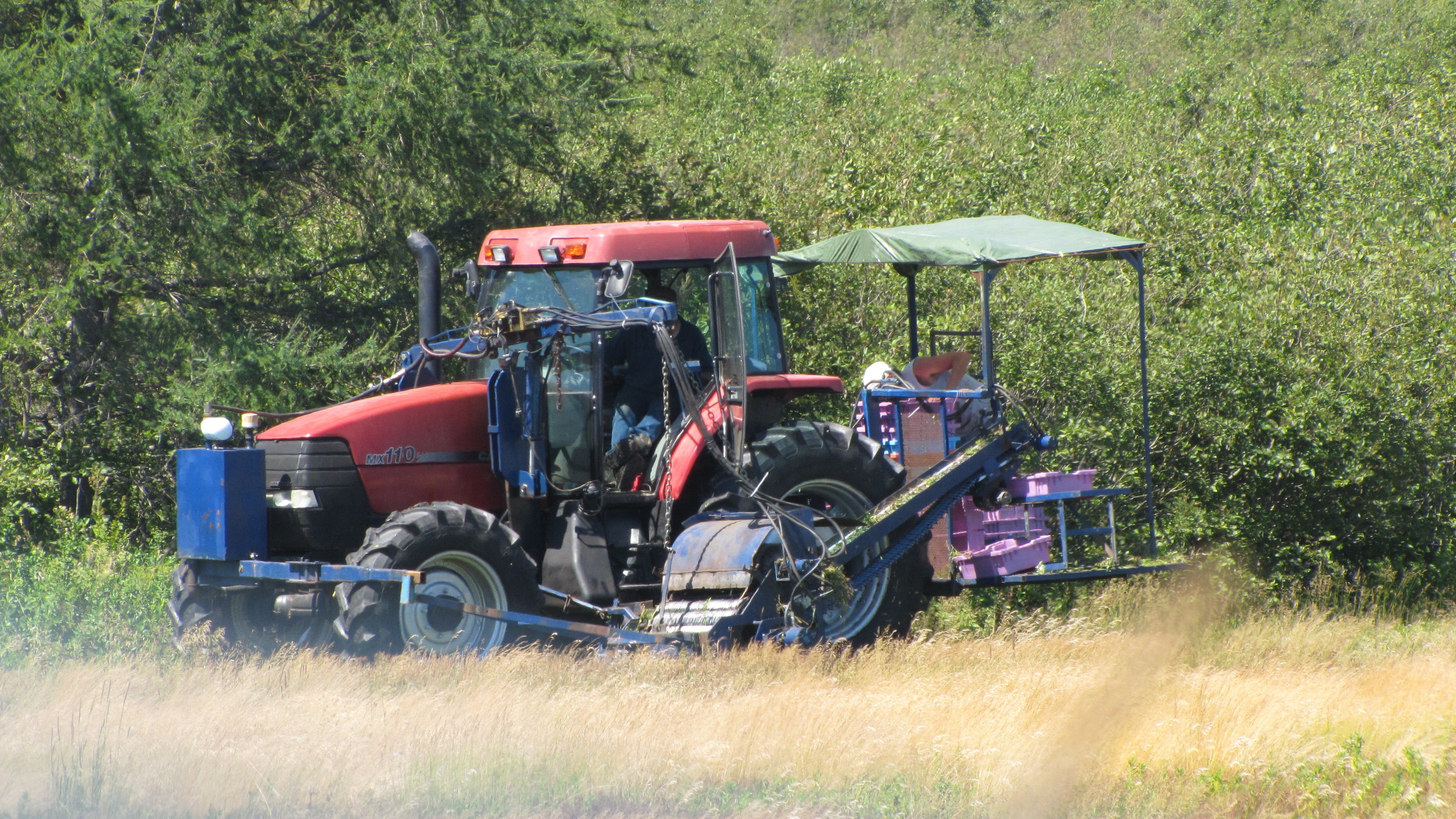 """Mechanical Blueberry Harvester in action!"""